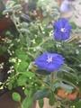猛暑に咲く青い花