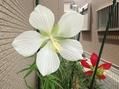 アオイ科のお花