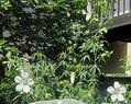 ごちゃごちゃ咲いてるブッドレア