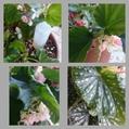 木立性ベゴニア コレクション