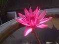 夜咲きスイレンの花