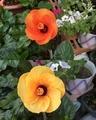 遂に‼️パパイヤ開花⁉️