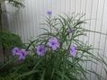 イセハナビ、スイレン、何の花?