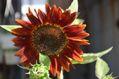 玄関の花から カトレア、朝顔、ヒマワリ