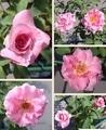 今日元気なバラ…「サイレント ラブ」‼️