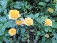 今日のバラ 8.10