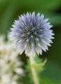 ルリタマアザミ開花