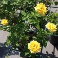 今日元気なバラ…「ゴールド リーフ」‼️