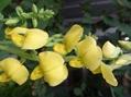 クロタラリア 開花