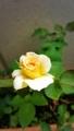 挿し木のバラ咲いた