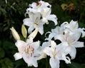早咲きカサブランカ