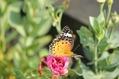 蝶ちょが増えました