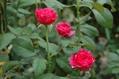 猛暑の薔薇 ⑥