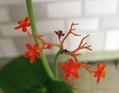 サンゴアブラギリの成長