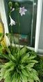 コバノギボウシが咲き始めました。