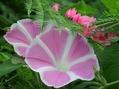 暑い中、爽やかに咲いてるピンク花
