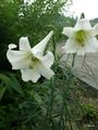 タカサゴユリが咲きました。