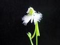 サギソウ開花