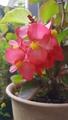 木立ベゴニア ~本日の実家の花