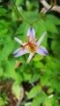 ブルーのホトトギス ~本日の実家ガーデン