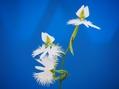 4種類のサギソウ咲揃いました♫