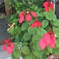 熱帯の赤いお花たち