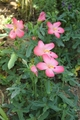 茶碗蓮の花