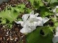 出物のS5437笹牡丹が咲きました