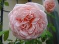 2016年のバラ