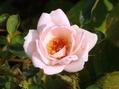 今日のバラ⑤