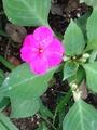 咲いてます!       ピンク