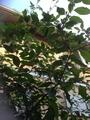 まるで庭木!ヨウシュヤマゴボウ!