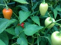 サンタフェグランデの種を採るために