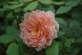 夏休みの薔薇 ②