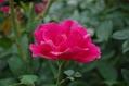 夏休みの薔薇 ③