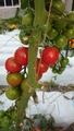 赤いトマト、黄色いトマト