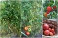 可愛いトマト!