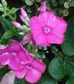 二番花が咲き始めました