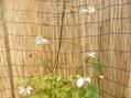 レンゲショウマの青軸の花。