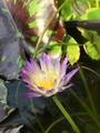 熱帯スイレン Ambrosia