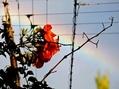 ノウゼンカズラと虹