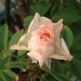 今朝のバラ達‼️