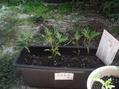 コスモスを植え付けました