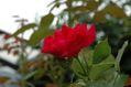 台風後のバラ ②