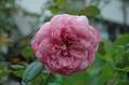台風後のバラ ④
