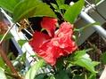 フラミンゴ咲きました!