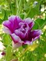変化朝顔の花芸