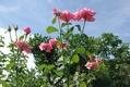 真夏の青空に咲く~ クイーンエリザベス