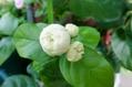 白い花・蕾