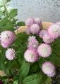 今日の花 ピンク